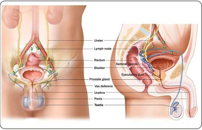 Diagram On Prostate - Illustration Of Wiring Diagram •